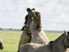 konikpaarden 8